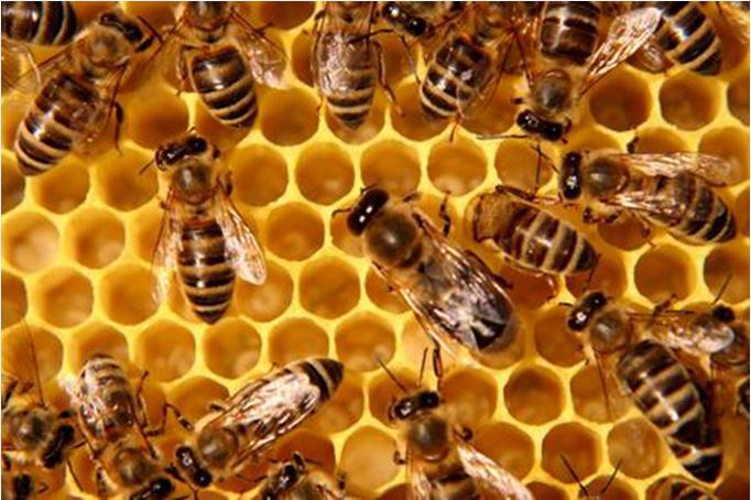 Il 2015 è l'anno della svolta per gli apicoltori: nuove regole