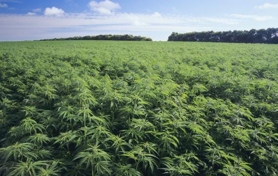 Legge sulla Canapa: importanti novità per un settore con buone potenzialità